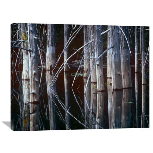 Global Gallery Western Red Cedar Trees, Oliphant Lake, British Columbia, Canada By Tim Fitzharris, 30 X 40-Inch Wall Art