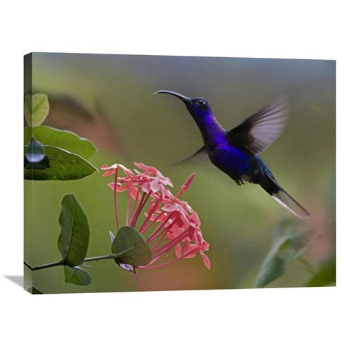 Global Gallery Violet Sabre Wing Male Hummingbird Feeding At Flower, Costa Rica By Tim Fitzharris, 24 X 32-Inch Wall Art