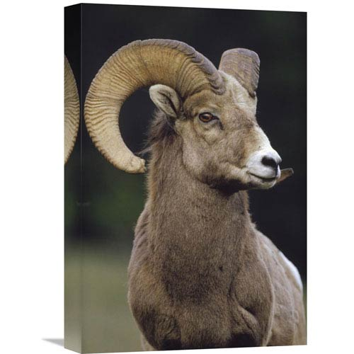 Global Gallery Bighorn Sheep Male Portrait, Banff National Park, Alberta, Canada By Tim Fitzharris, 18 X 12-Inch Wall Art