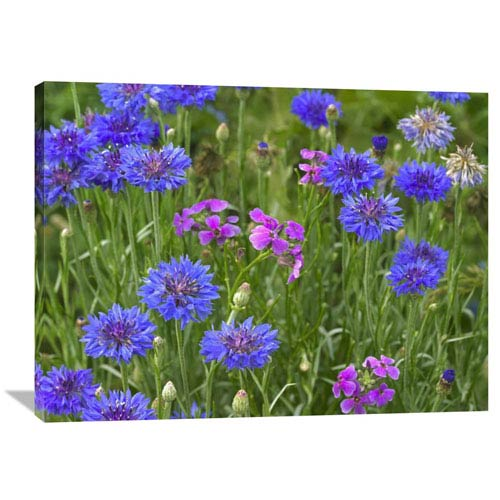 Global Gallery Cornflower And Pointed Phlox Blooming In Grassy Field, North America By Tim Fitzharris, 30 X 40-Inch Wall Art