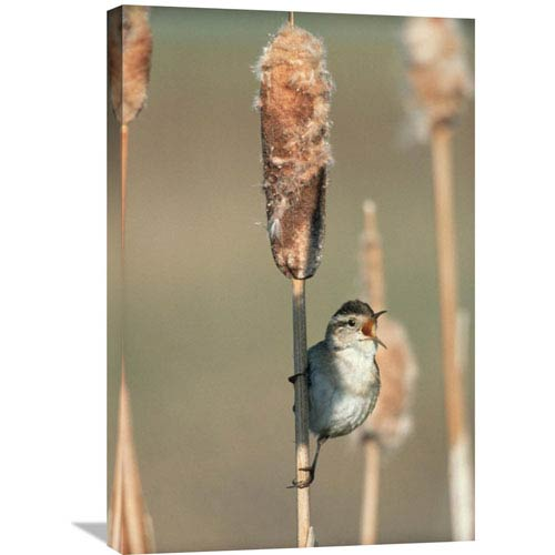 Global Gallery Marsh Wren Singing While Perching On A Common Cattail, North America By Tim Fitzharris, 30 X 20-Inch Wall Art