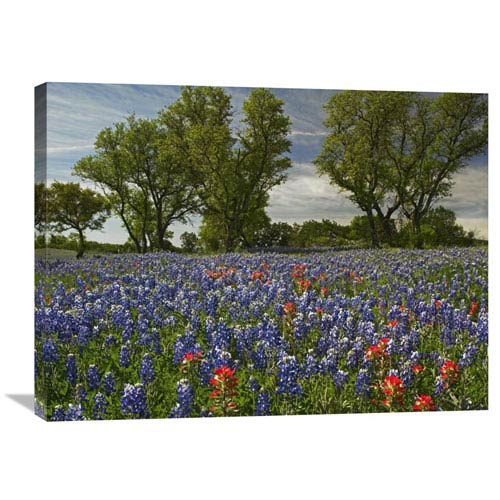 Global Gallery Sand Bluebonnets And Indian Paintbrush In Bloom, Hill Country, Texas By Tim Fitzharris, 24 X 32-Inch Wall Art