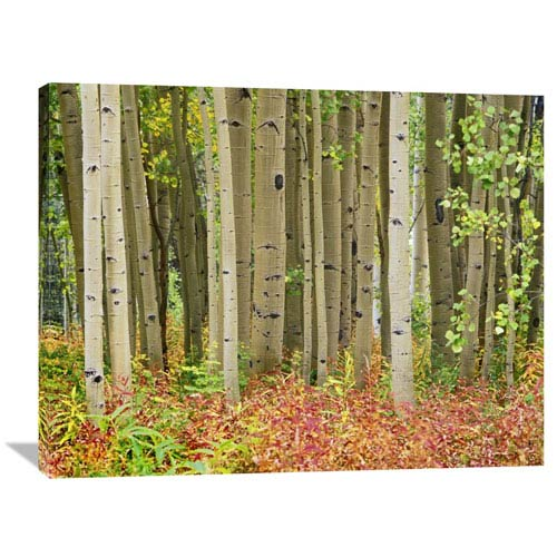 Global Gallery Aspen Trees And Fireweed, Collegiate Peaks Wilderness Area, Colorado By Tim Fitzharris, 30 X 40-Inch Wall Art