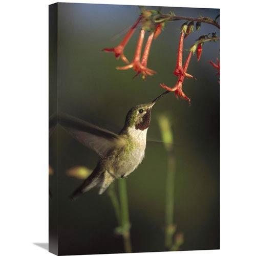 Global Gallery Broad Tailed Hummingbird Feeding On Scarlet Gilia Flowers, New Mexico By Tim Fitzharris, 24 X 16-Inch Wall Art