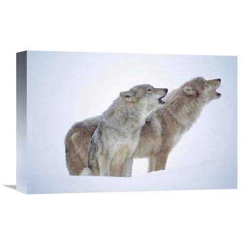 Global Gallery Timber Wolves Close Up Portrait Of Pair Howling In Snow, North America By Tim Fitzharris, 12 X 18-Inch Wall