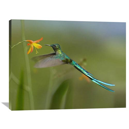 Global Gallery Long Tailed Sylph Feeding On Flower Nectar, Jurong Bird Park, Singapore By Tim Fitzharris, 30 X 40-Inch Wall