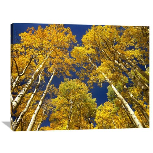 Global Gallery Aspen Grove In Fall Colors, Maroon Bells, Snowmass Wilderness, Colorado By Tim Fitzharris, 30 X 40-Inch Wall
