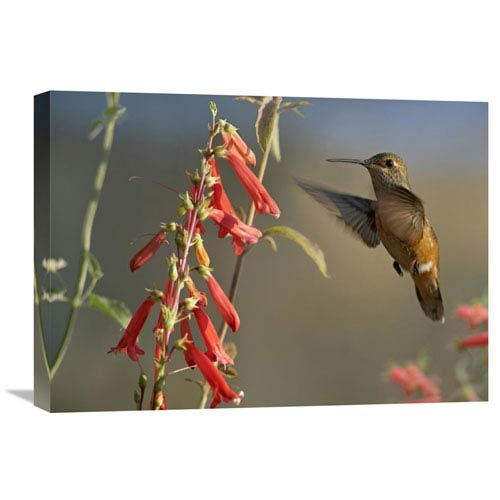 Global Gallery Broad Tailed Hummingbird Feeding On Flower Nectar, Santa Fe, New Mexico By Tim Fitzharris, 18 X 24-Inch Wall