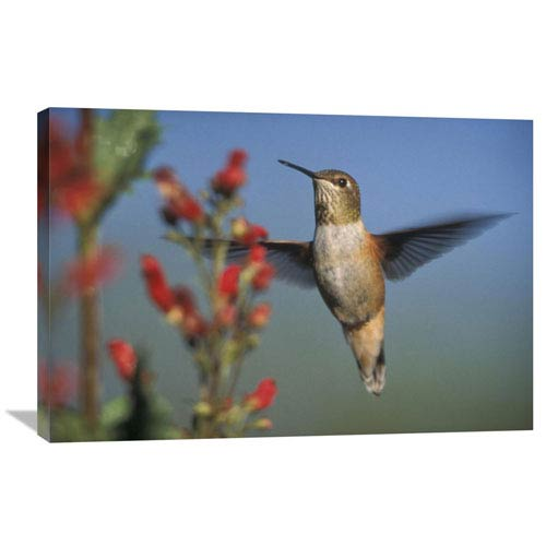 Global Gallery Rufous Hummingbird Feeding On The Nectar Of A Desert Figwort New Mexico By Tim Fitzharris, 24 X 36-Inch Wall