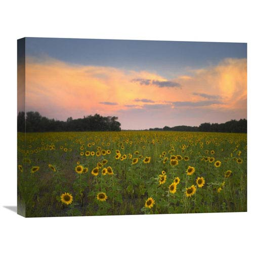 Global Gallery Common Sunflower Field Near Flint Hills National Wildlife Refuge, Kansas By Tim Fitzharris, 20 X 24-Inch Wall