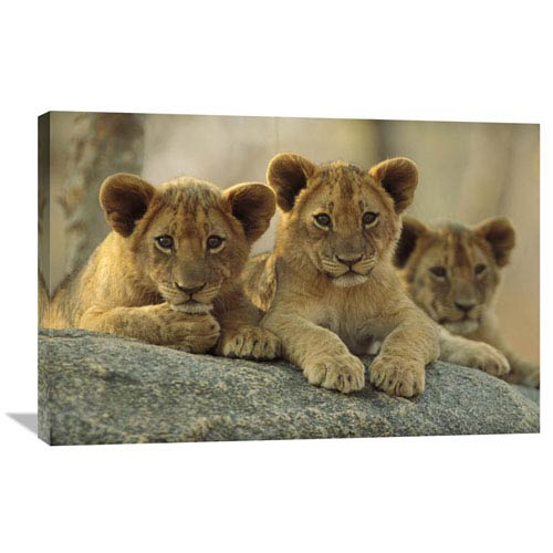 Global Gallery African Lion Three Cubs Resting On A Rock, Hwange National Park, Zimbabwe By Tim Fitzharris, 24 X 36-Inch Wall