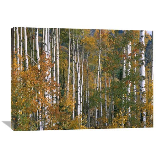 Global Gallery Aspen Trees In Fall Colors, Lost Lake, Gunnison National Forest, Colorado By Tim Fitzharris, 30 X 40-Inch Wall