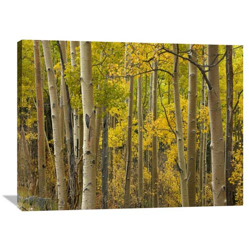 Global Gallery Aspen Trees In Autumn, Santa Fe National Forest Near Santa Fe, New Mexico By Tim Fitzharris, 30 X 40-Inch Wall