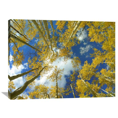 Global Gallery Looking Up At Blue Sky Through A Canopy Of Fall Colored Aspen Trees, Colorado By Tim Fitzharris, 30 X 40-Inch