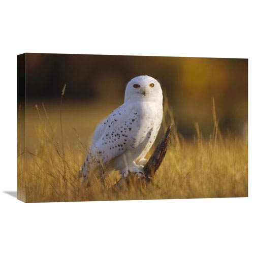 Global Gallery Snowy Owl Adult Amid Dry Grass, Circumpolar Species, British Columbia, Canada By Tim Fitzharris, 16 X 24-Inch
