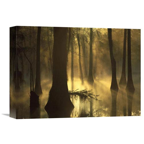 Global Gallery Bald Cypress Grove In Freshwater Swamp At Dawn, Lake Fausse Pointe, Louisiana By Tim Fitzharris, 12 X 16-Inch