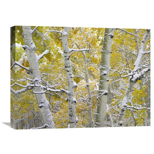 Global Gallery Snow Covered Aspen Forest Near Kebbler Pass, Gunnison National Forest, Colorado By Tim Fitzharris, 18 X