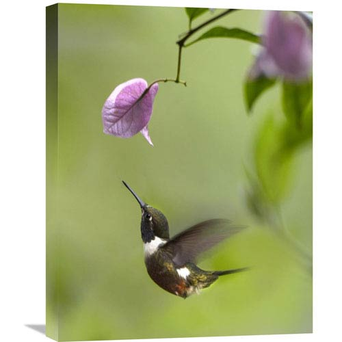 Global Gallery Purple Throated Woodstar Hummingbird Hovering Near Bougainveillea Flower, Ecuador By Tim Fitzharris, 24 X