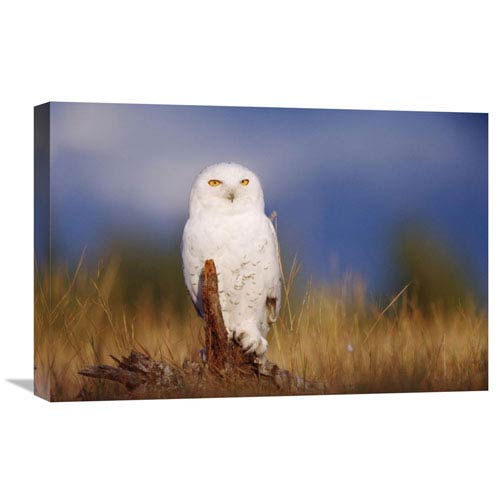Global Gallery Snowy Owl Adult Perching On A Low Stump In A Field Of Green Grass, British Columbia, Canada By Tim Fitzharris,