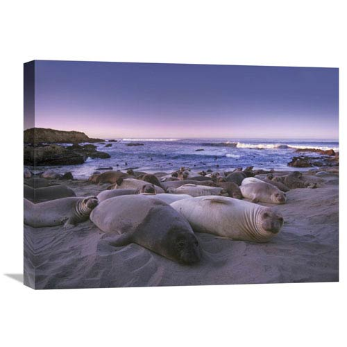 Global Gallery Northern Elephant Seal Juveniles Laying On The Beach, Point Piedras Blancas, Big Sur, California By Tim