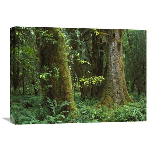 Global Gallery Moss Covered Trees And Dense Undergrowth In The Hoh Temperate Rainforest, Olympic National Park, Washington By