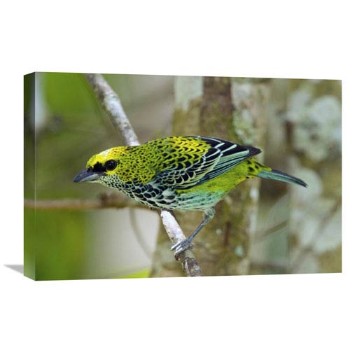 Global Gallery Speckled Tanager, Costa Rica By Steve Gettle, 16 X 24-Inch Wall Art