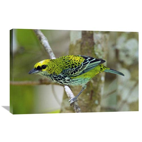 Global Gallery Speckled Tanager, Costa Rica By Steve Gettle, 24 X 36-Inch Wall Art