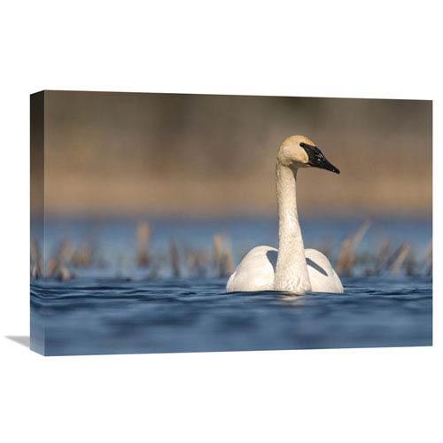 Global Gallery Trumpeter Swan Swimming, Seney National Wildlife Refuge, Michigan By Steve Gettle, 16 X 24-Inch Wall Art