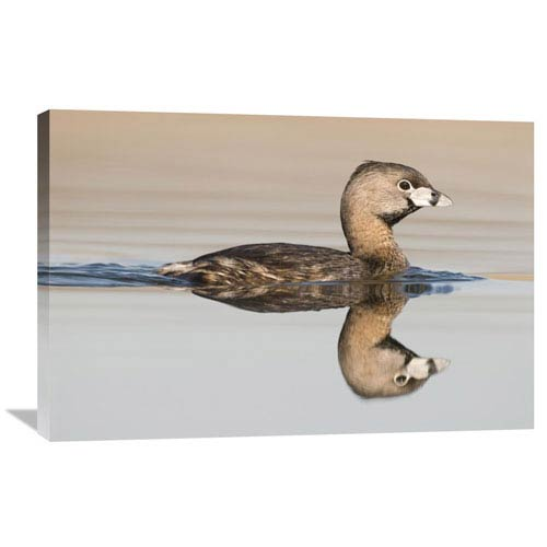 Global Gallery Pied Billed Grebe Swimming, Island Lake Recreation Area, Michigan By Steve Gettle, 24 X 36-Inch Wall Art