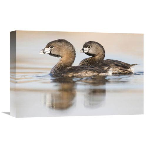 Global Gallery Pied Billed Grebe Pair In Breeding Plumage, Island Lake Recreation Area, Michigan By Steve Gettle, 12 X
