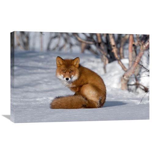 Global Gallery Red Fox Sitting On Snow, Kamchatka, Russia By Sergey Gorshkov, 20 X 30-Inch Wall Art