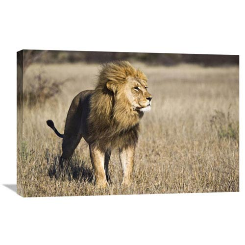 Global Gallery African Lion Male, Khutse Game Reserve, Botswana By Vincent Grafhorst, 20 X 30-Inch Wall Art