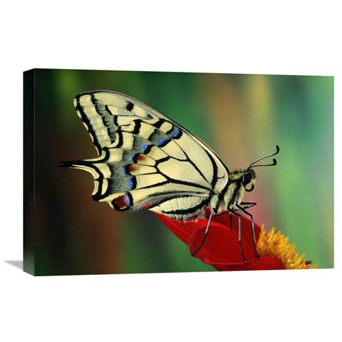 Global Gallery Oldworld Swallowtail Side View, Europe By Jef Meul, 16 X 24-Inch Wall Art