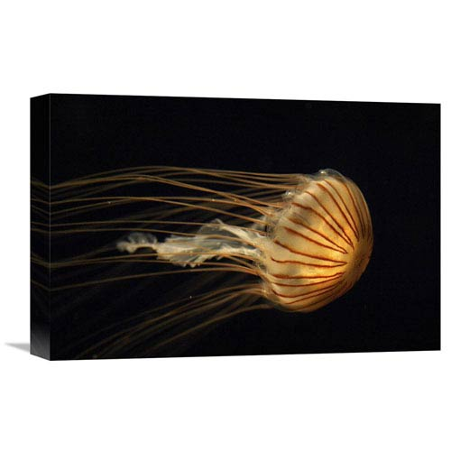 Global Gallery Northern Sea Nettle Jellyfish Northern Pacific Ocean By Hiroya Minakuchi, 12 X 18-Inch Wall Art