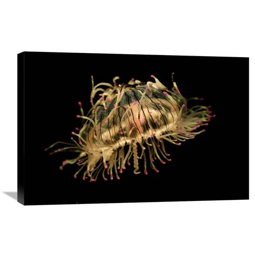 Global Gallery Flower Hat Jelly, Native To Brazil, Argentina And Japan By Hiroya Minakuchi, 20 X 30-Inch Wall Art