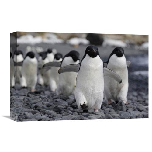 Global Gallery Adelie Penguin Group Marching To Colony, Antarctic Peninsula, Antarctica By Hiroya Minakuchi, 12 X 18-Inch