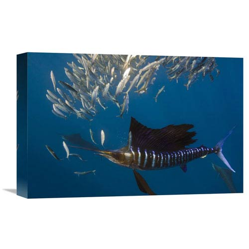 Global Gallery Atlantic Sailfish Hunting Round Sardinella, Isla Mujeres, Mexico By Pete Oxford, 12 X 18-Inch Wall Art