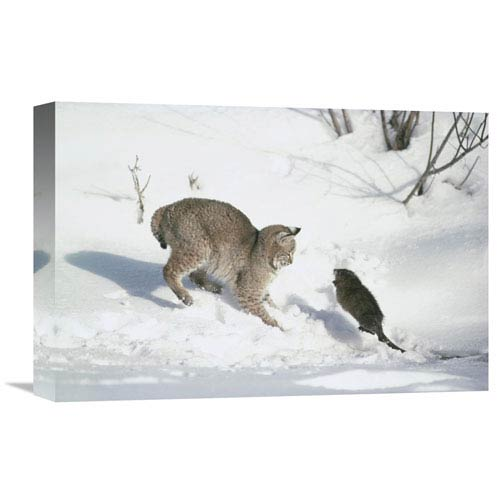 Global Gallery Bobcat Hunting Muskrat In The Winter, Idaho By Michael Quinton, 12 X 18-Inch Wall Art