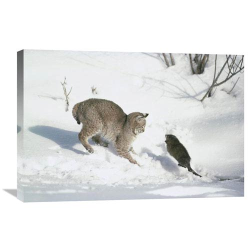 Global Gallery Bobcat Hunting Muskrat In The Winter, Idaho By Michael Quinton, 20 X 30-Inch Wall Art