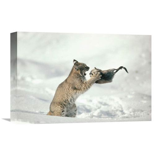 Global Gallery Bobcat Capturing Muskrat In The Winter, Idaho By Michael Quinton, 12 X 18-Inch Wall Art