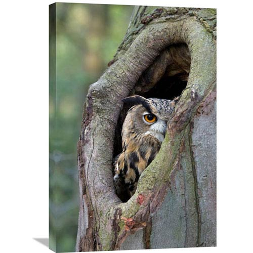 Global Gallery Eurasian Eagle Owl Looking Out From A Tree Cavity, Netherlands By Rob Reijnen, 30 X 20-Inch Wall Art