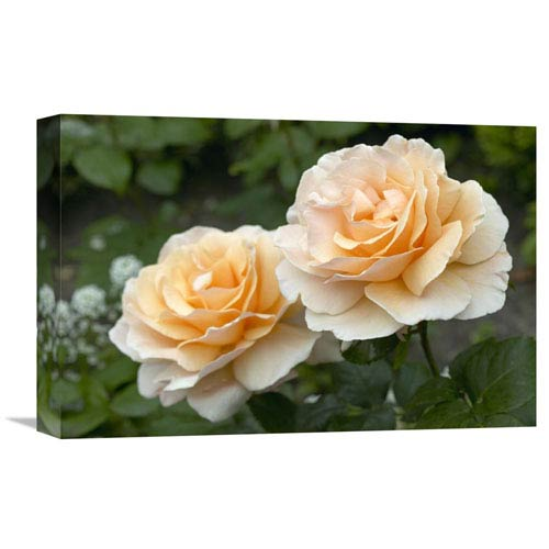 Global Gallery Rose Just Joey Variety Flowers By Visionspictures, 12 X 18-Inch Wall Art