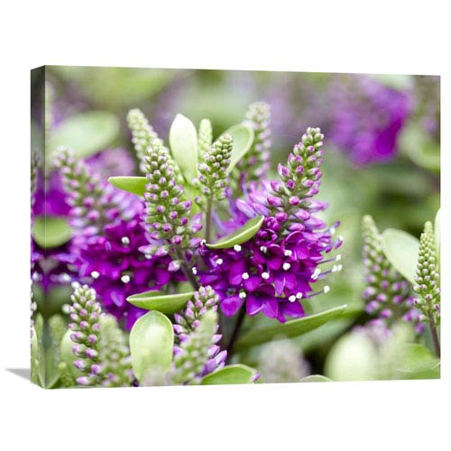 Global Gallery Hebe Dona Diana Variety Flowers By Visionspictures, 20 X 24-Inch Wall Art