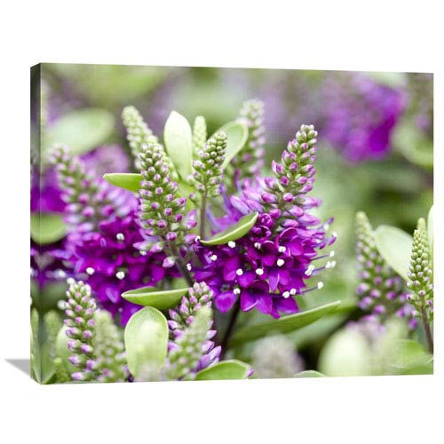 Global Gallery Hebe Dona Diana Variety Flowers By Visionspictures, 28 X 35-Inch Wall Art