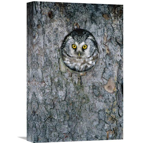 Global Gallery Tengmalms Owl Or Boreal Owl Peaking Through Hole In Tree, Sweden By Konrad Wothe, 18 X 12-Inch Wall Art