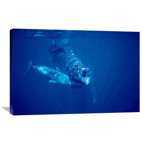 Global Gallery Sperm Whale Social Group Underwater, Dominica By Flip Nicklin, 24 X 36-Inch Wall Art