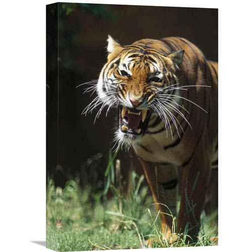 Global Gallery Bengal Tiger Snarling, Native To India By San Diego Zoo, 18 X 12-Inch Wall Art