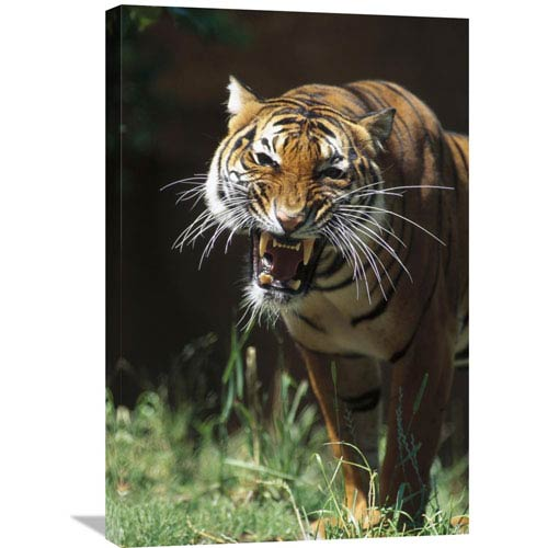 Global Gallery Bengal Tiger Snarling, Native To India By San Diego Zoo, 30 X 20-Inch Wall Art