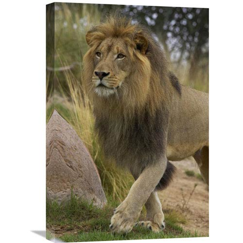 Global Gallery African Lion Male Portrait, Native To Africa By San Diego Zoo, 24 X 16-Inch Wall Art