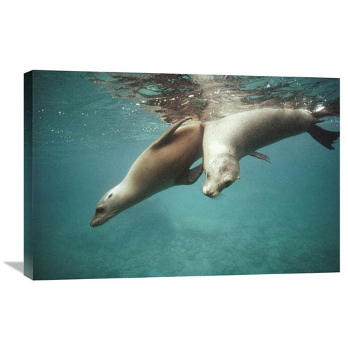 Global Gallery California Sea Lion Juveniles Playing, Sea Of Cortez, Mexico By Tui De Roy, 20 X 30-Inch Wall Art